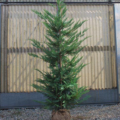 Vendita Piante Da Siepe : Cupressocyparis leylanndii vendita pianta da siepe leylandii