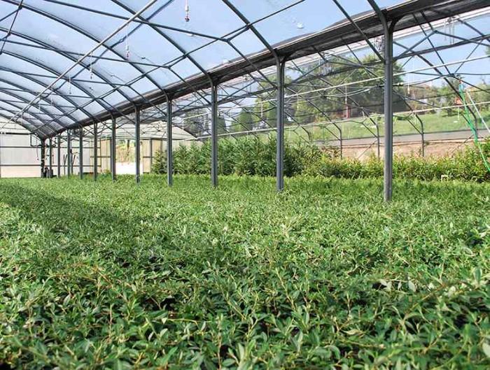 Coltivazione arbusti