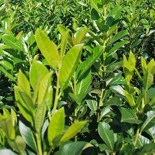 Vendita Piante Da Siepe : Piante da siepe coltivazione e vendita