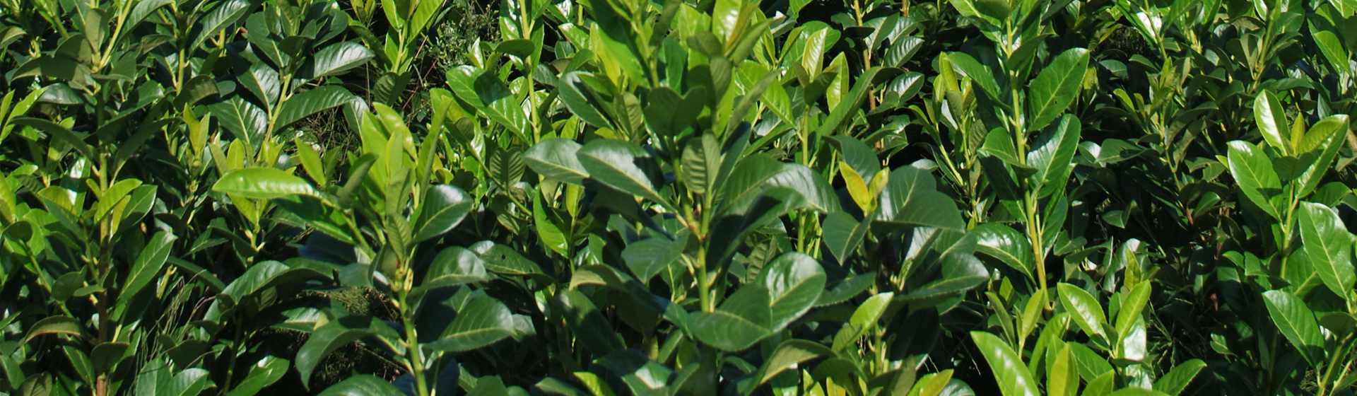 Vendita Piante Da Siepe : Lauro prunus laurocerasus vendita piante da siepe