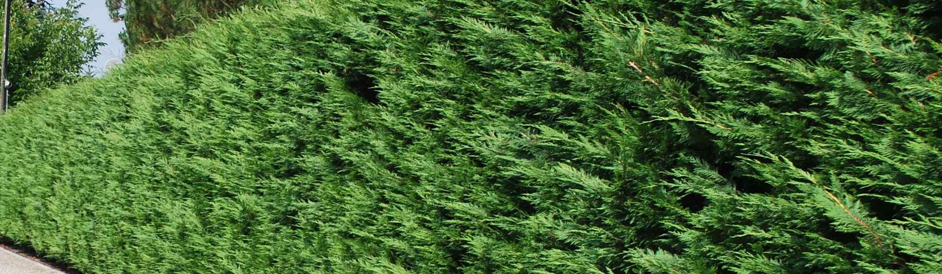 Cupressocyparis leylanndii vendita pianta da siepe leylandii - Piante siepe ...