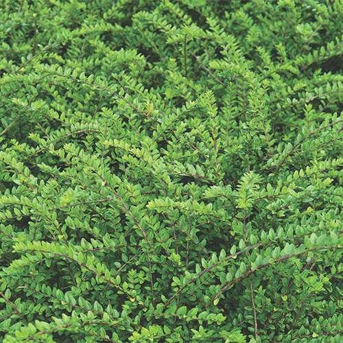 Pin le piante tappezzanti per zone difficili del prato on - Piante tappezzanti ...
