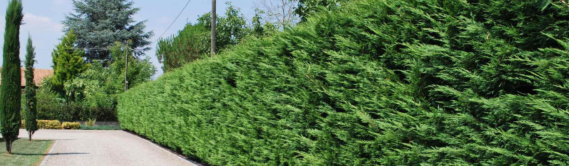 Vendita Piante Da Siepe : Vivai san carlo vendita piante da siepe e creazione giardini