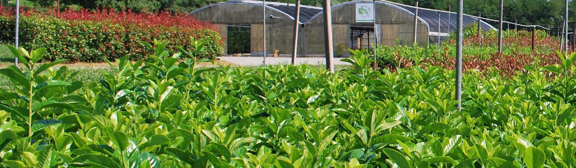 Vivaio piante da siepe produzione piante da siepe for Piante da vivaio