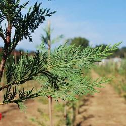 Campo coltivazione siepi laylandii