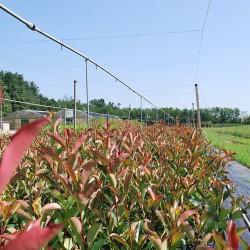 Campo Fotinia Red Robin